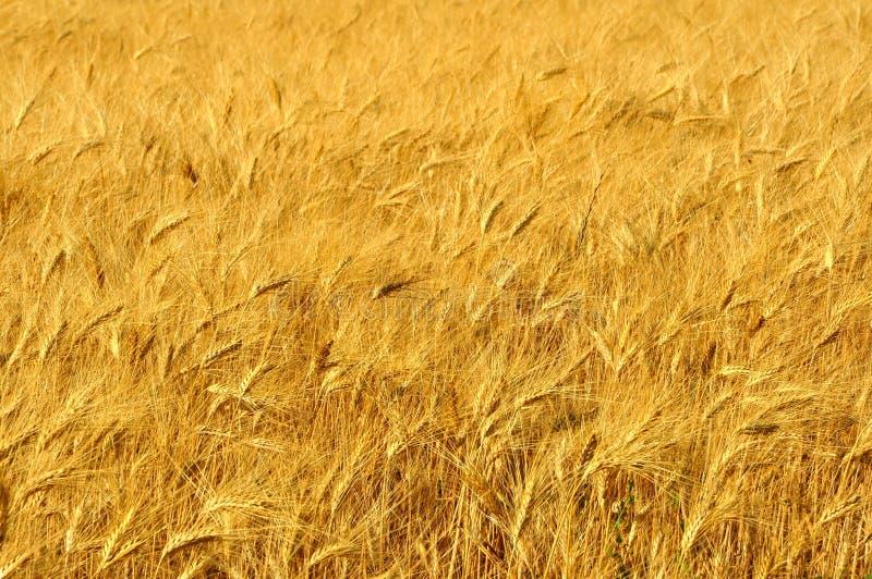 Weizenfeld in Toskana, Italien stockfotos