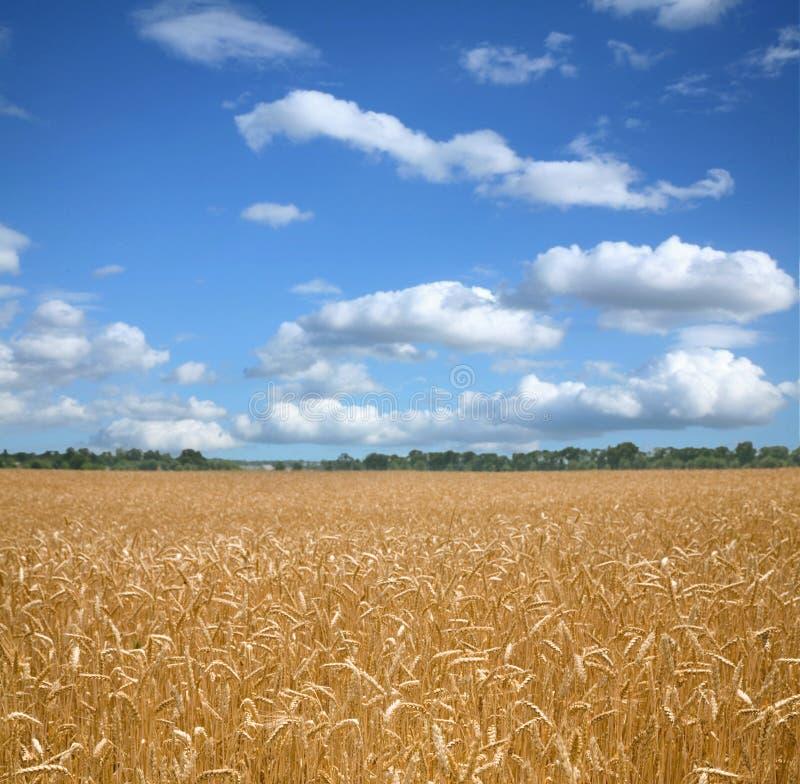 Weizenfeld und bly -himmel. lizenzfreies stockbild