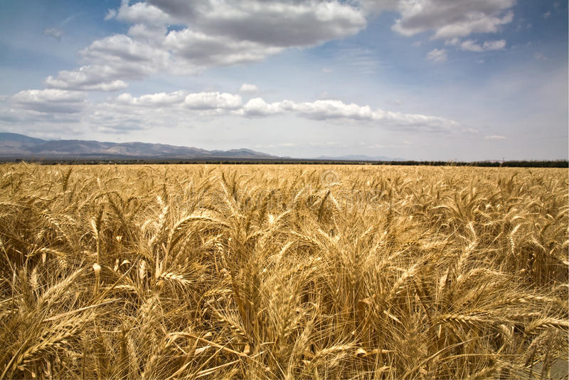 Weizenfeld und -himmel lizenzfreies stockbild