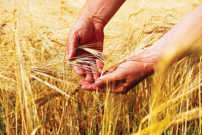 Weizenfeld und -mann ?bergeben das Halten des Kegels am Sommertag stockfoto