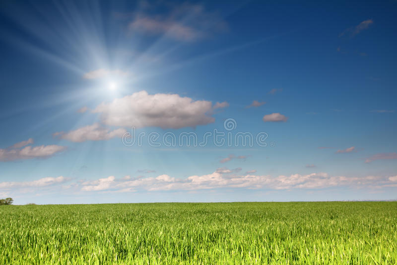 Weizenfeld unter blauem Himmel stockfoto