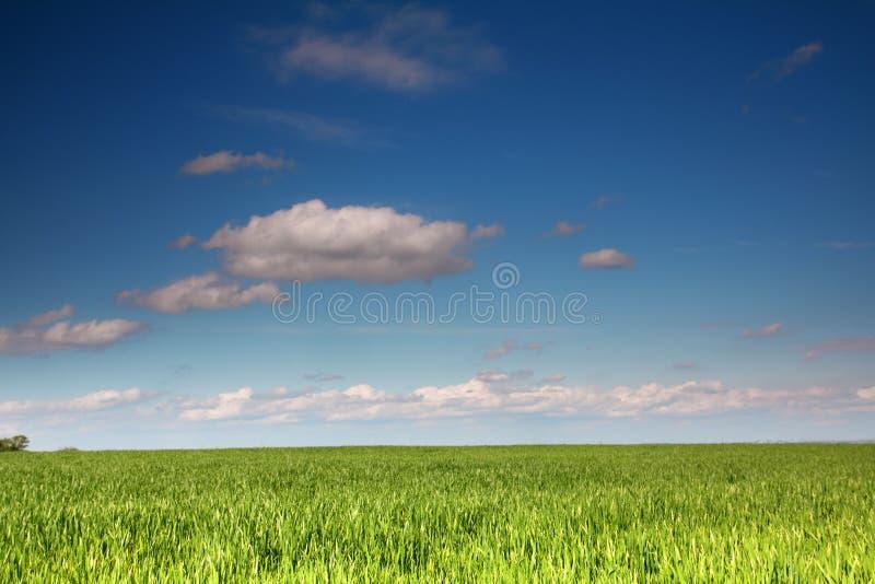 Weizenfeld unter blauem Himmel lizenzfreie stockfotografie