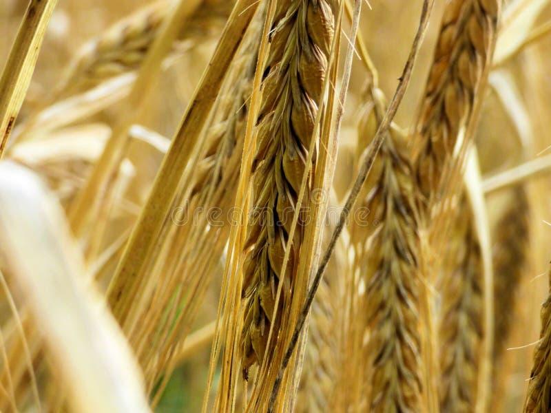 Weizenfeldabschluß oben stockbild
