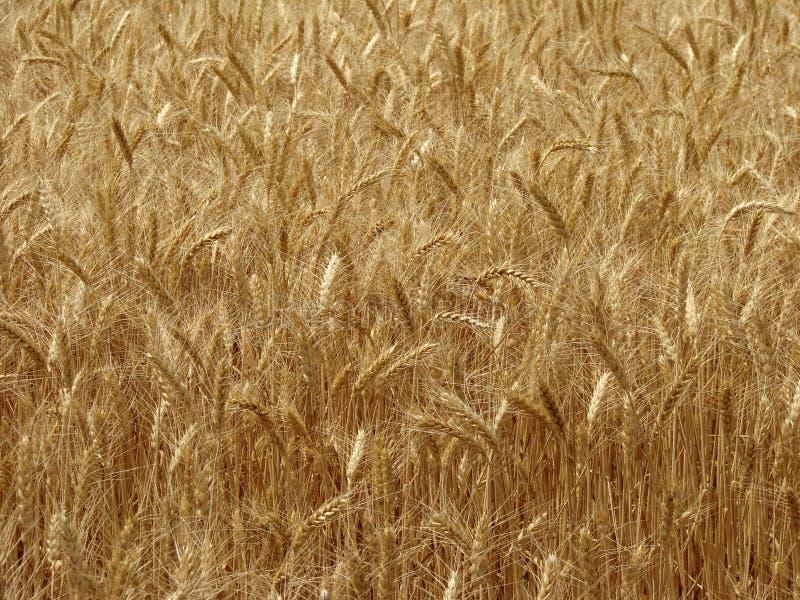 Weizenfeldfragment stockbild