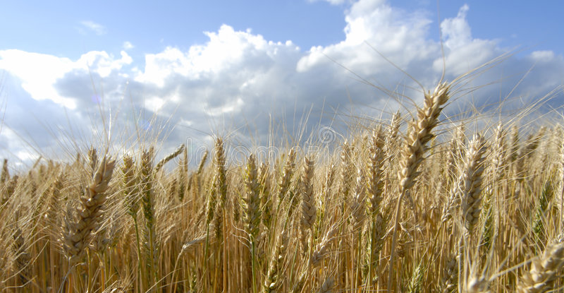 Weizenfeldlandschaft lizenzfreies stockfoto