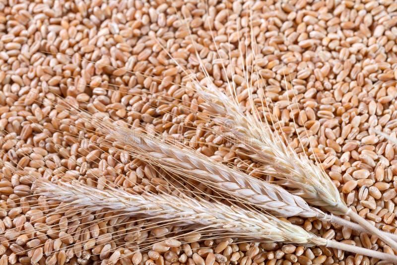 Weizenkörner schließen oben lizenzfreies stockfoto