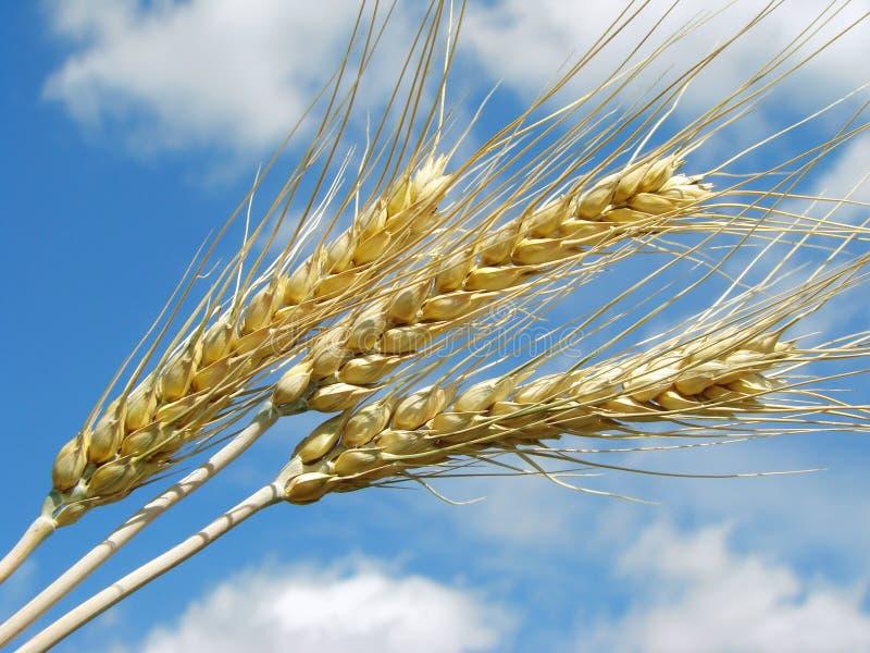 Weizenohren stockbilder