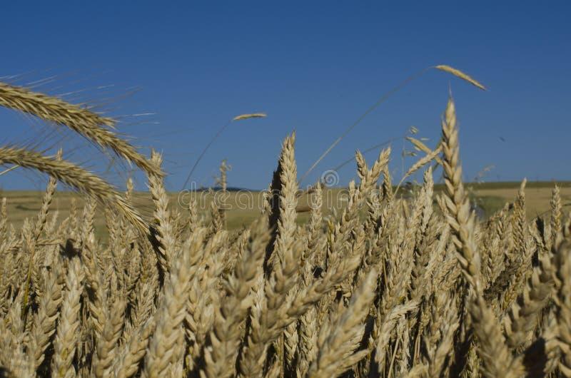 Weizenohren auf dem Feld lizenzfreies stockfoto