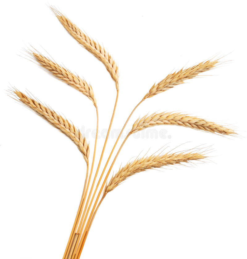 Weizenohren getrennt auf weißem Hintergrund lizenzfreies stockfoto