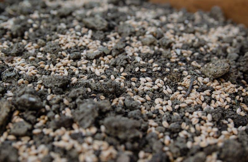 Weizensamen auf der Erde stockfoto