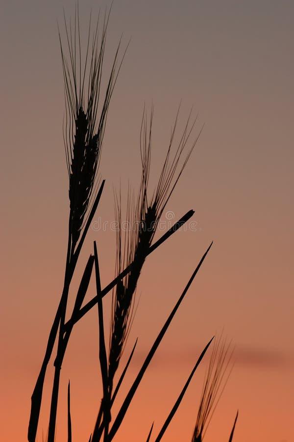 Weizenschattenbild 1 stockfotografie