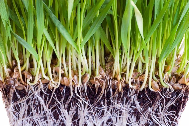 Weizensprößlinge lizenzfreie stockfotos