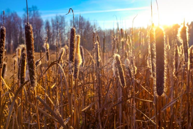 Weizenweidelandschaft im Sonnenschein als Hintergrund lizenzfreie stockfotografie