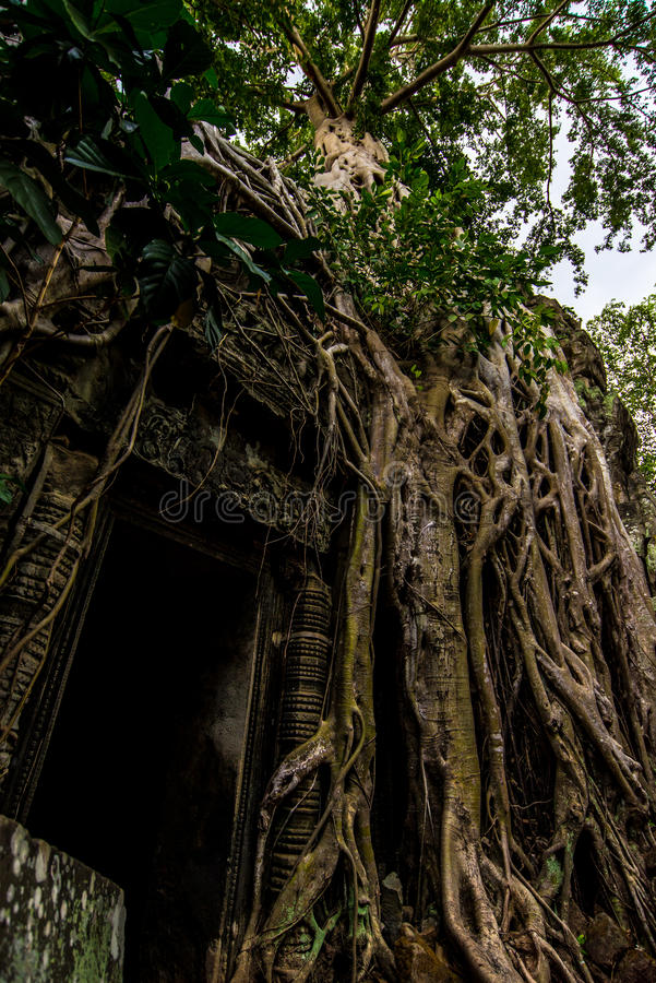 Wejście świątynia przerastający korzenie fotografia royalty free