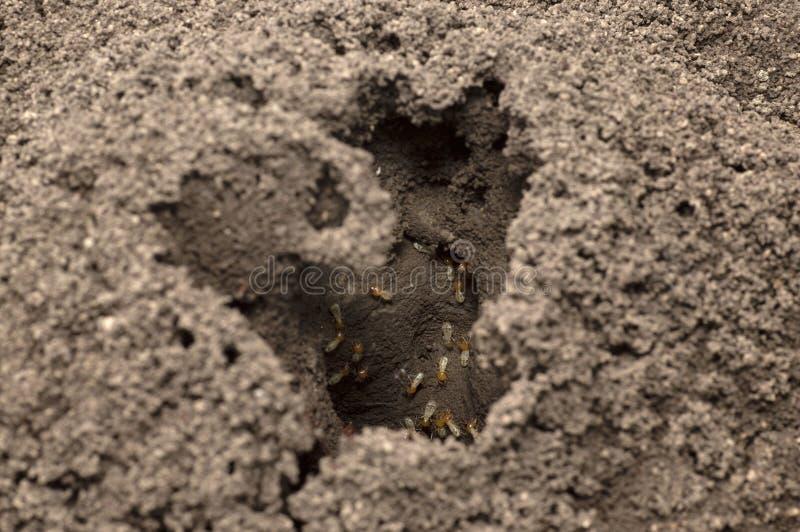 Wejście termit białe mrówki gniazduje blisko Pune, maharashtra obraz stock