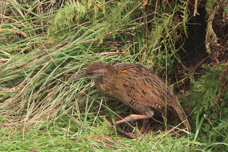 Download Weka in high grass stock image. Image of australis, weka - 25515897