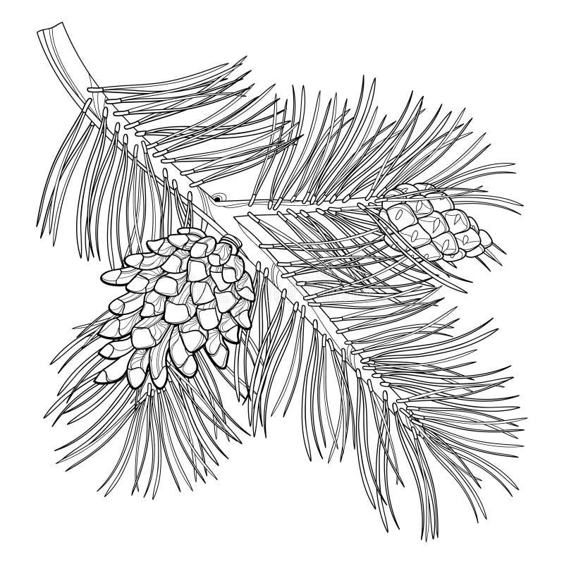 Wektor gałąź kontur Scots sosna lub Pinus sylvestris drzewni Wiązka, sosna i rożki w czerni odizolowywającym na białym tle, ilustracji