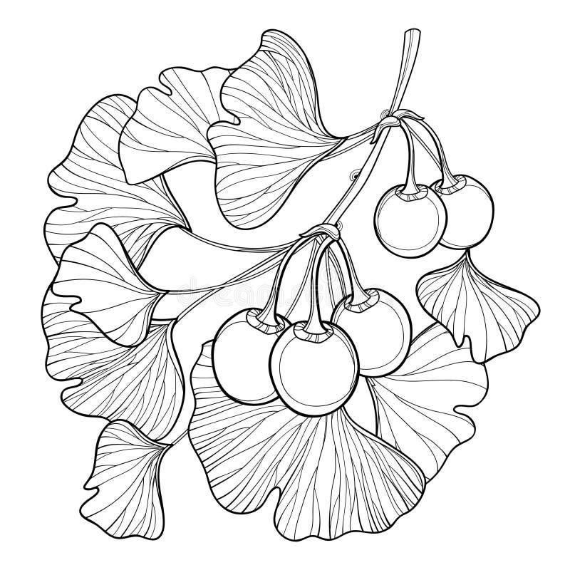 Wektor gałąź z konturu Ginkgo lub miłorzębu biloba drzewem Wiązka z liściem i owoc odizolowywającymi na białym tle royalty ilustracja