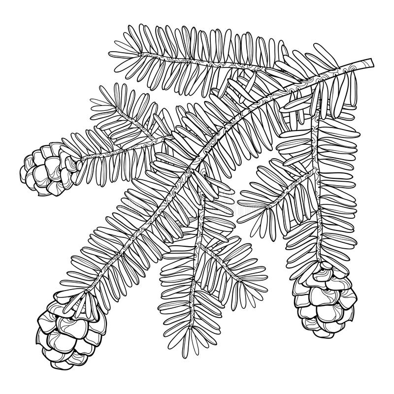 Wektor gałąź z konturu Tsuga lub wschodnim Kanadyjskim szalejem w czerni odizolowywającym na białym tle Conifer szaleju drzewo ilustracji