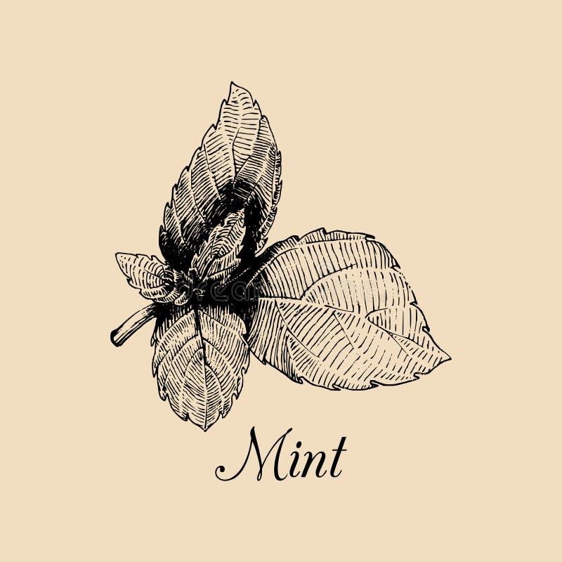 Wektor nowa ilustracja Ręka rysujący aromatyczny rośliny nakreślenie Kulinarny zielarski wizerunek Botaniczny rysunek w rytownict ilustracji