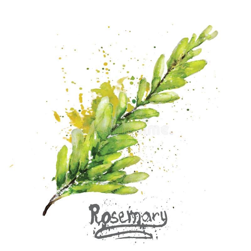 Wektorowa akwarela rozmarynów zieleni gałąź z royalty ilustracja