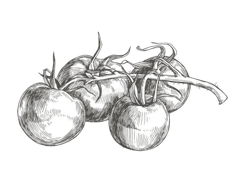 Wektorowa botaniczna rocznik ilustracja z pomidorami na gałąź jest ilustracja wektor
