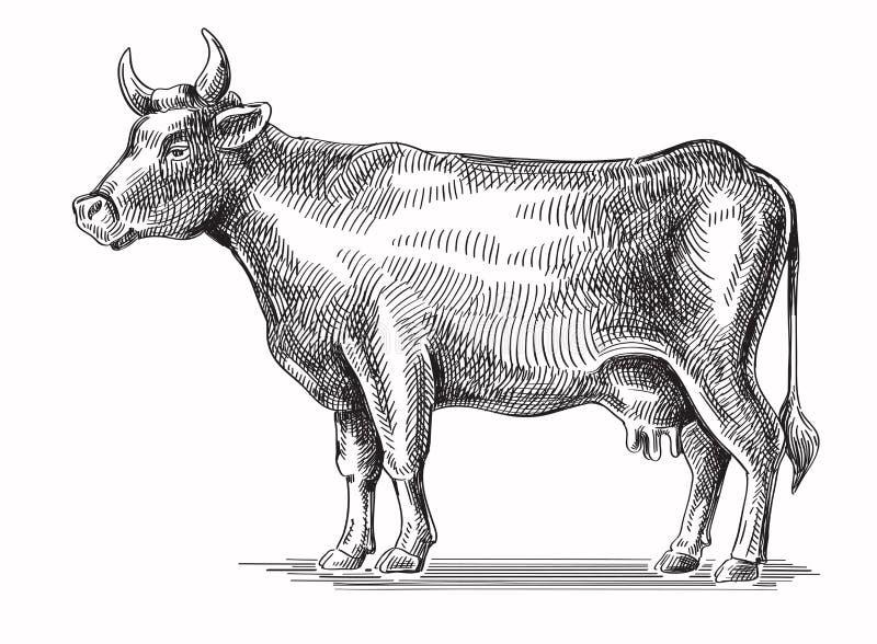 Wektorowa czarna krowa ilustracji