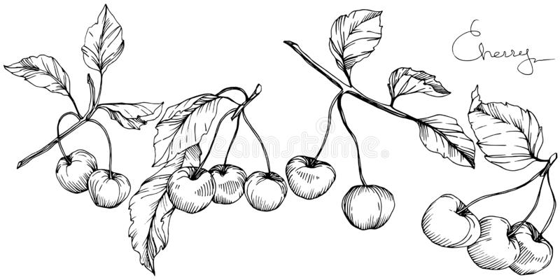 Wektorowa Czereśniowa owoc Czarny i biały grawerująca atrament sztuka Odosobniony jagodowy ilustracyjny element na białym tle ilustracji