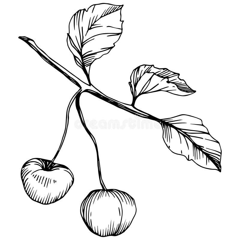 Wektorowa Czereśniowa owoc Czarny i biały grawerująca atrament sztuka Odosobniony jagodowy ilustracyjny element na białym tle ilustracja wektor