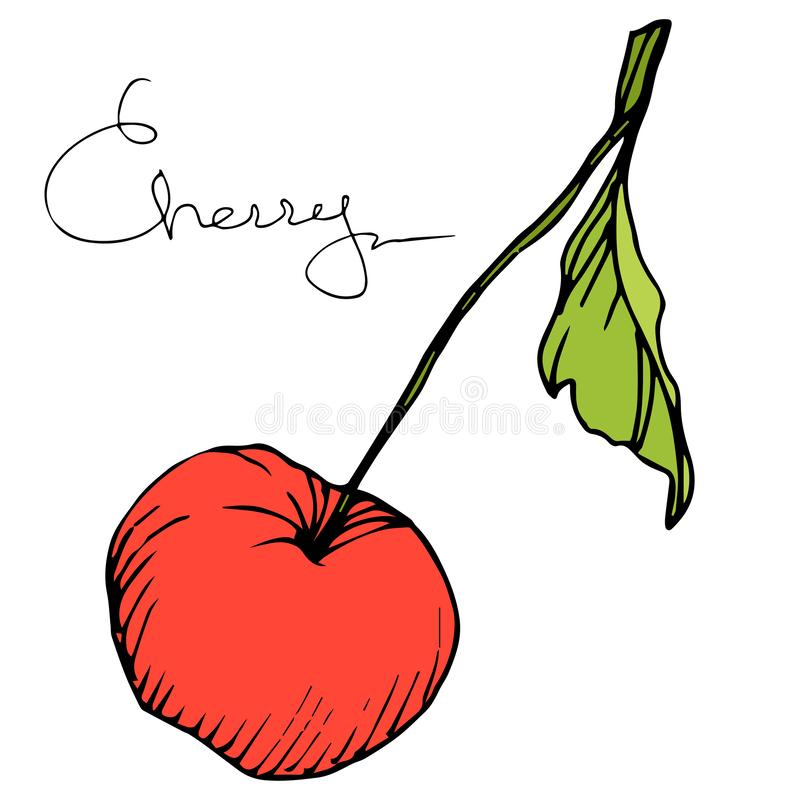 Wektorowa Czereśniowa owoc Rewolucjonistka i zieleń grawerująca atrament sztuka Odosobniony jagodowy ilustracyjny element na biał ilustracja wektor