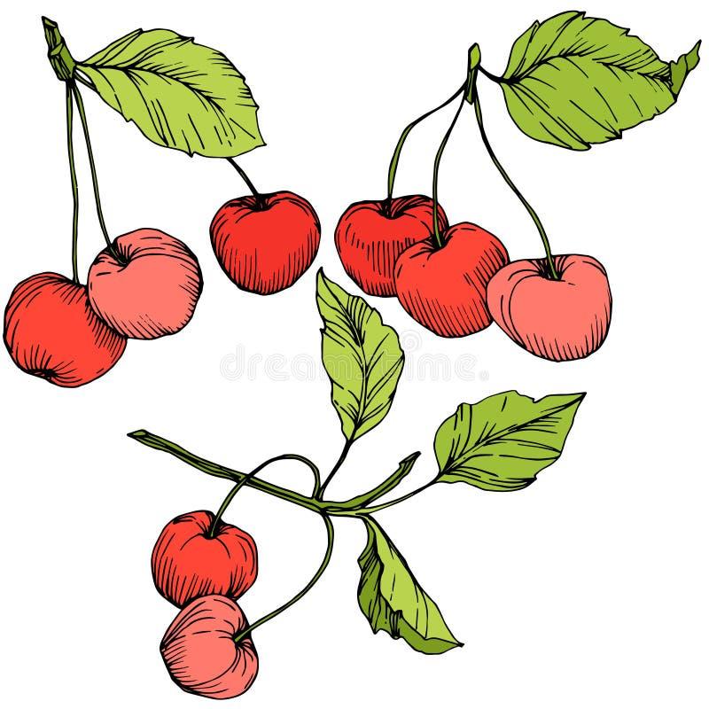 Wektorowa Czereśniowa owoc Rewolucjonistka i zieleń grawerująca atrament sztuka Odosobniony jagodowy ilustracyjny element na biał ilustracji