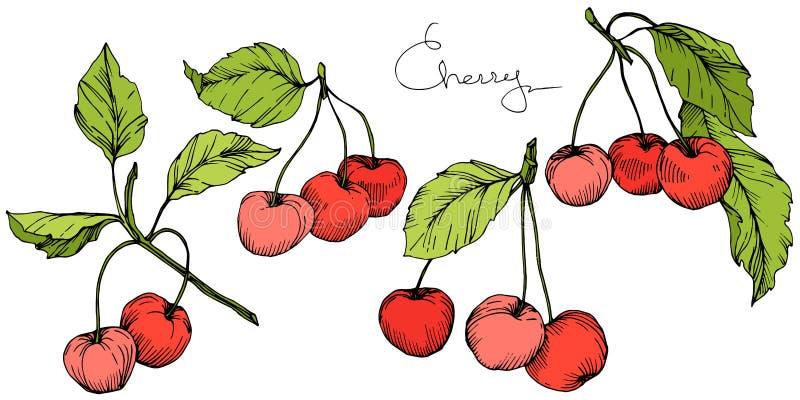 Wektorowa Czereśniowa owoc Rewolucjonistka i zieleń grawerująca atrament sztuka Odosobniony jagodowy ilustracyjny element na biał royalty ilustracja