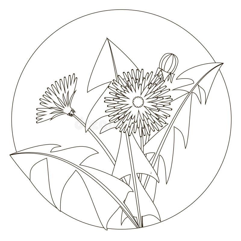 Wektorowa ilustracja dandelions z liśćmi i kwiatem Czarny i biały wizerunek Kontur dandelion i liście może ilustracji