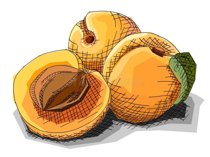 Wektorowa ilustracja rysunkowe owocowe morele ilustracja wektor