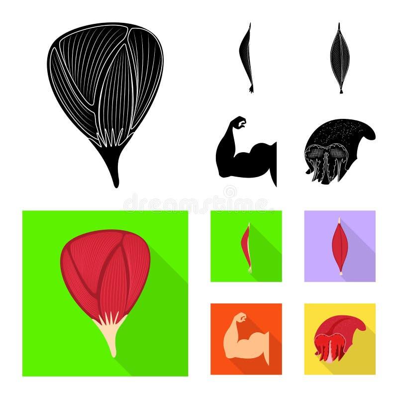 Wektorowa ilustracja włókno i mięśniowy symbol Set włókna i ciała wektorowa ikona dla zapasu ilustracji