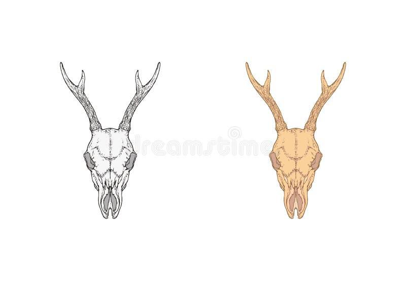 Wektorowa ilustracja z ręka rysującą roe rogaczy czaszką Dwa warianta: monochromatyczny i barwiony W realistycznym stylu royalty ilustracja