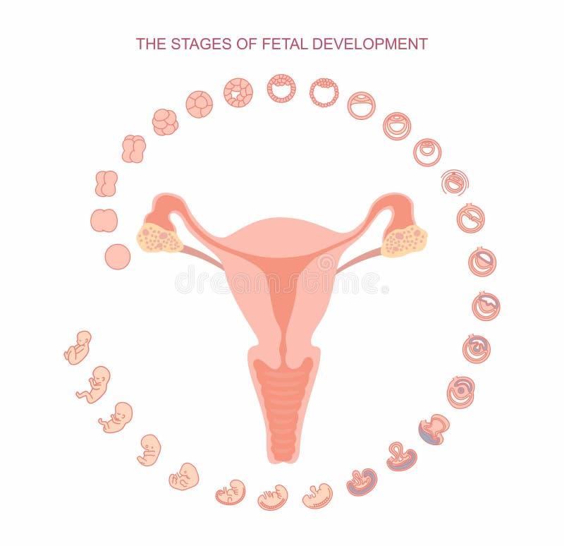 Wektorowa ilustracyjna macica i sceny płodowy rozwój pojedynczy białe tło Brzemienność Płodowy przyrost od fertilizati royalty ilustracja