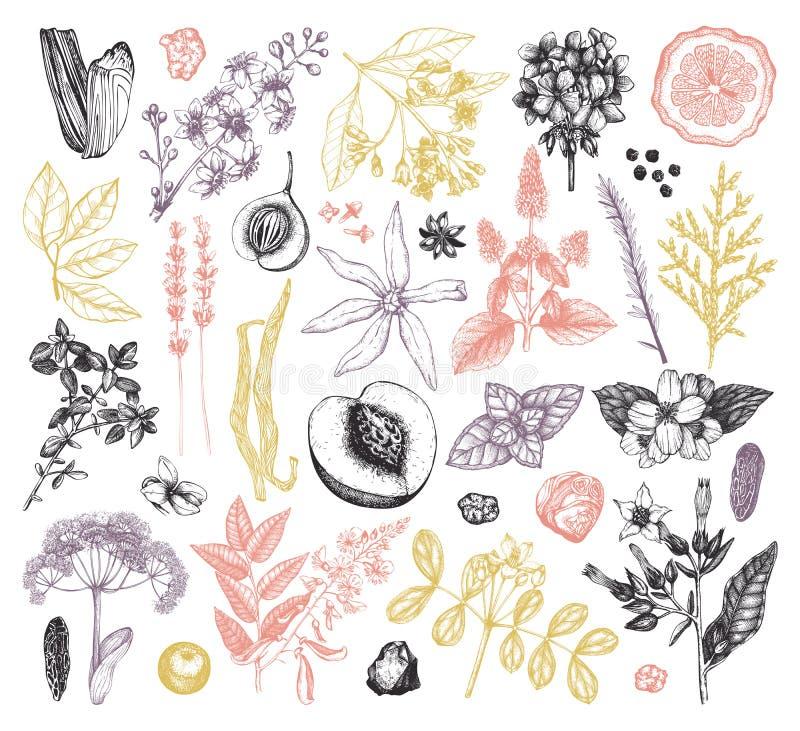 Wektorowa kolekcja ręka rysujący mydlarnia składniki i materiały Rocznik ustawiający aromatyczne rośliny, owoc, kwiaty, ziarna, b ilustracji