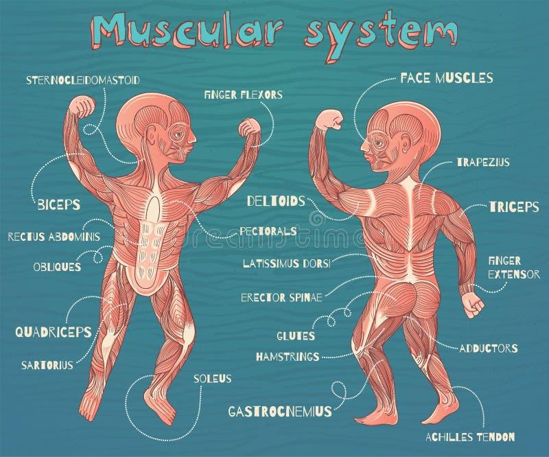 Wektorowa kreskówki ilustracja ludzki mięśniowy system dla dzieciaków ilustracji