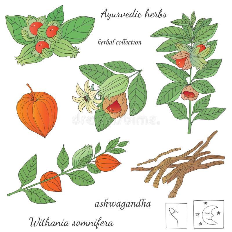 Wektorowa ręka rysująca ilustracja rośliny ashwagandha royalty ilustracja