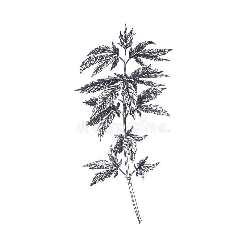 Wektorowa ręka rysująca marihuany ilustracja ilustracja wektor