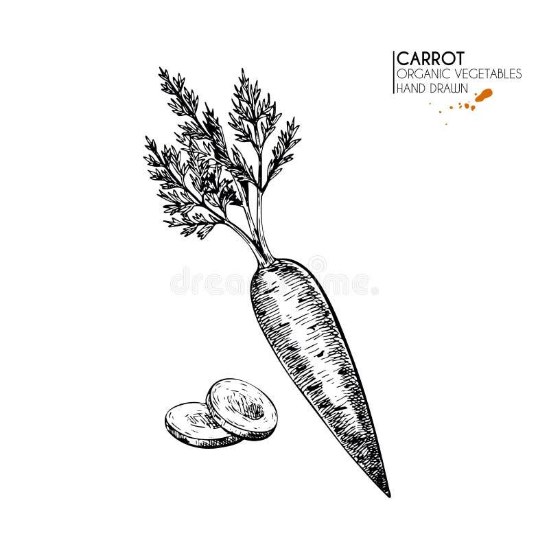 Wektorowa ręka rysujący set rolni warzywa Odosobniona pokrojona i cała marchewka Grawerująca sztuka Organicznie kreślący jarosz royalty ilustracja
