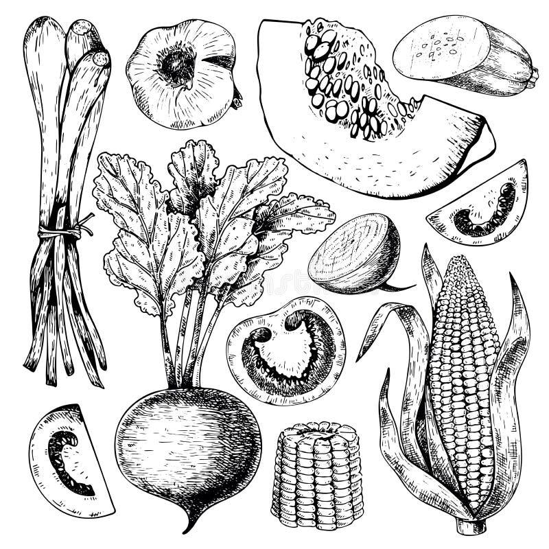 Wektorowa ręka rysujący set rolni warzywa Odosobniona srouting cebula, beetroot, pomidor, kukurudza, bania, czosnek Grawerująca s ilustracji