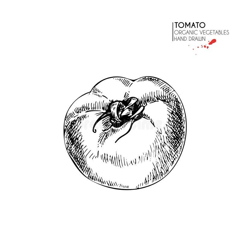 Wektorowa ręka rysujący set rolni warzywa Odosobniony cały pomidor Grawerująca sztuka Organicznie kreślący jaroszy przedmioty ilustracja wektor