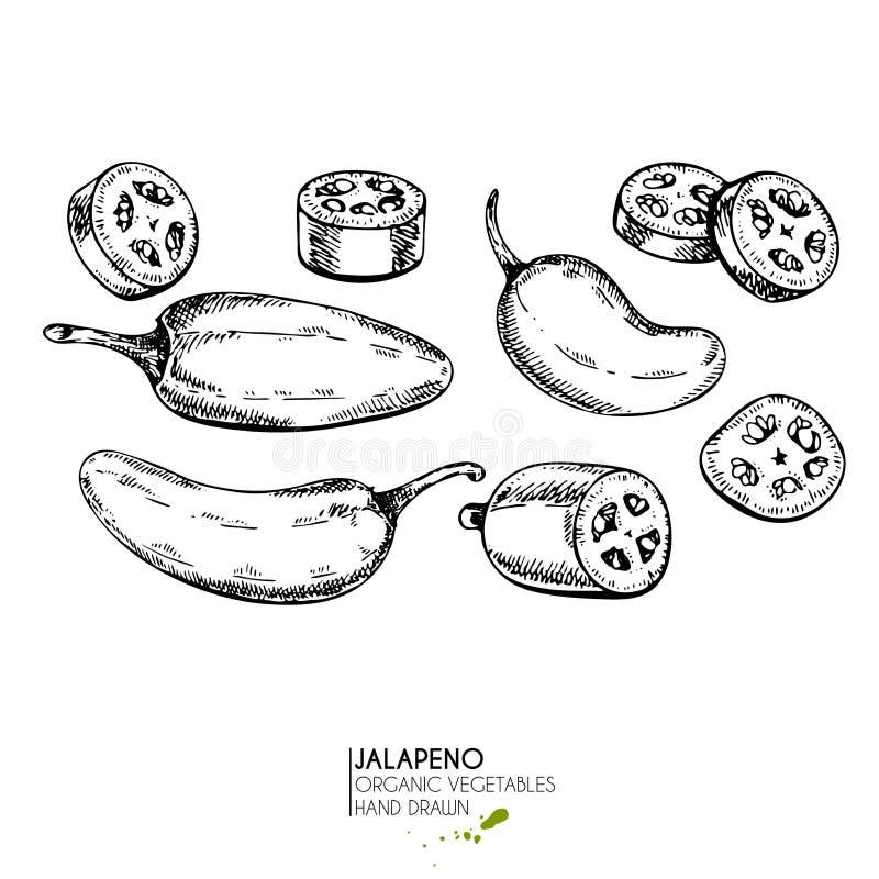 Wektorowa ręka rysujący set rolni warzywa Odosobniony gorący chili jalapeno pieprz Grawerująca sztuka Organicznie kreślący jarosz royalty ilustracja