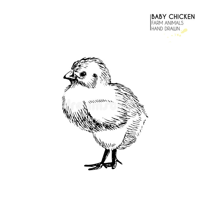Wektorowa ręka rysujący set zwierzęta gospodarskie Odosobniony dziecko kurczak Grawerująca sztuka Organicznie kreślący uprawia zi ilustracja wektor