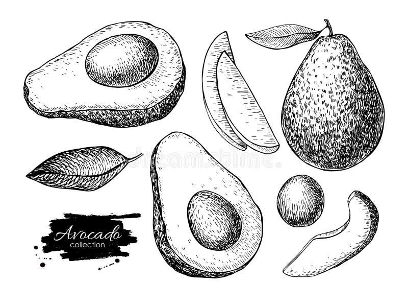 Wektorowa ręka rysujący szczegółowy avocado set Nakreślenie ilustracje royalty ilustracja