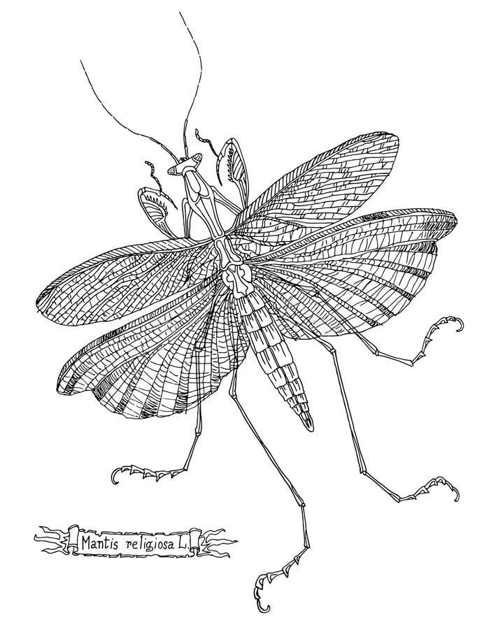 Wektorowa rysunkowa modliszka ilustracji