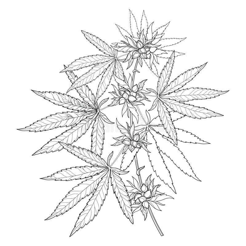 Wektorowa wiązka kontur marihuana sativa, marihuana indica lub marihuana Rozgałęzia się, liście i ziarno odizolowywający na biały ilustracja wektor