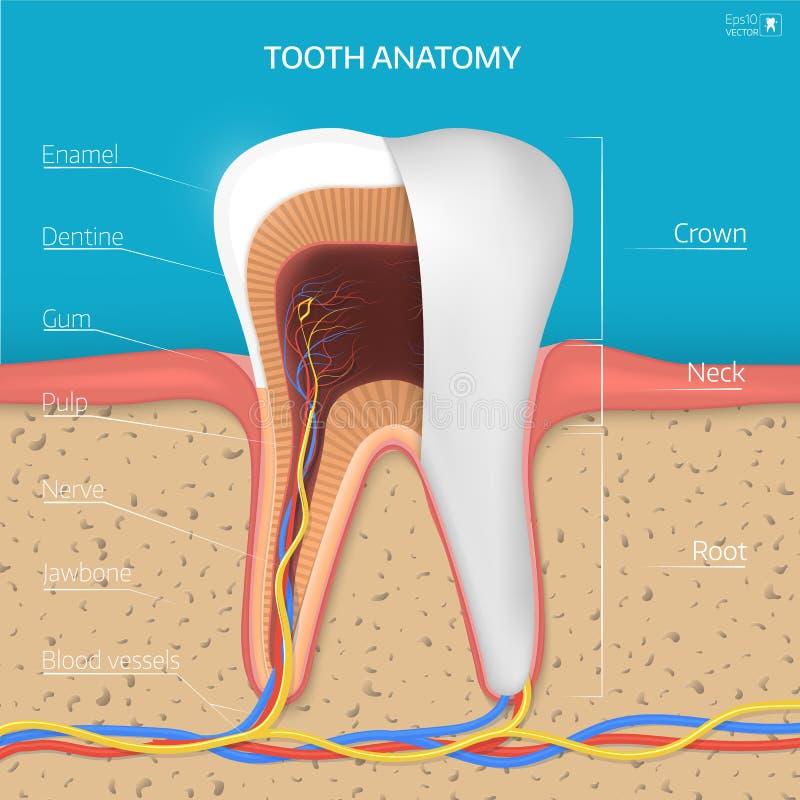 Wektorowa ząb struktura Przekrój Poprzeczny anatomia z wszystkie częściami royalty ilustracja